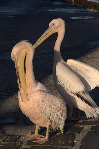 Пеликаните на Миконос