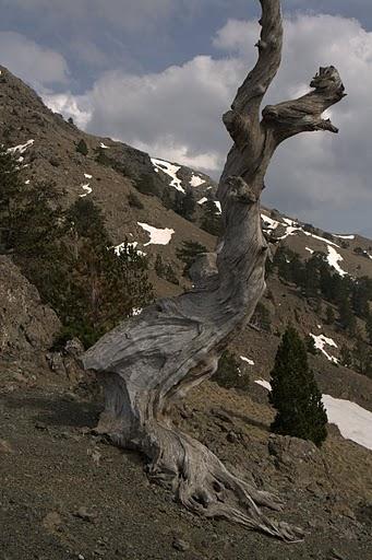 Дърво в началото на бясното качване