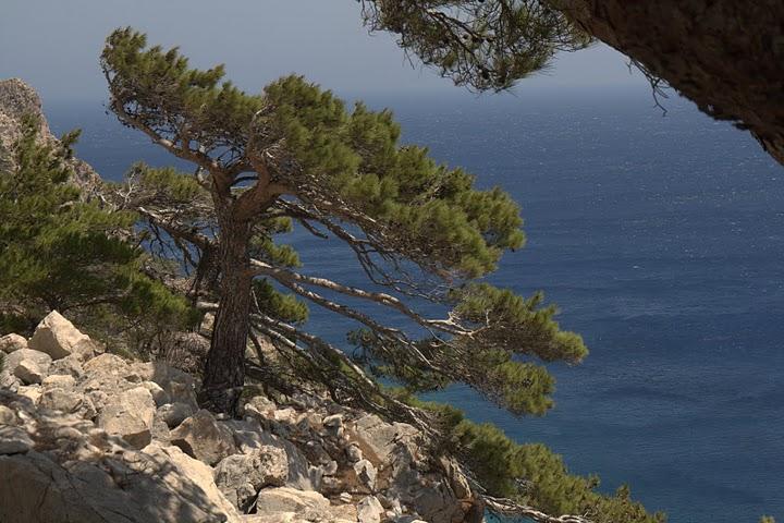 Иглолистни дървета, наведени от вятъра