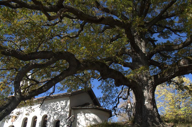 Старият дъб в Скравенския манастир