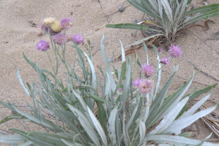 Пясъчни цветя
