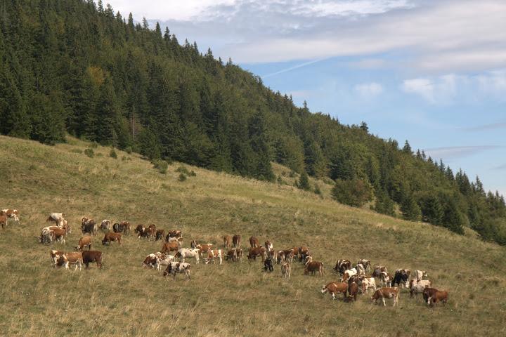 Малофатренски кравички