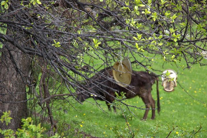 Капаци от тенджери като звънци на добитък