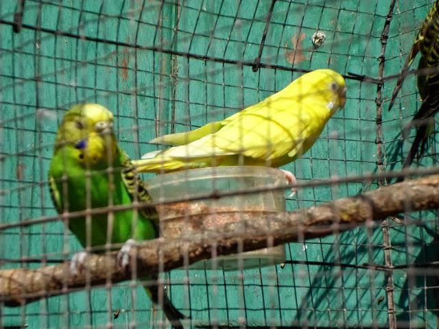Още папагалчета