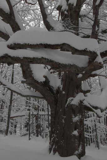 Вековно дърво - в някои гори също може да влезе лавина