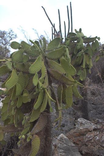 Кактусова горичка