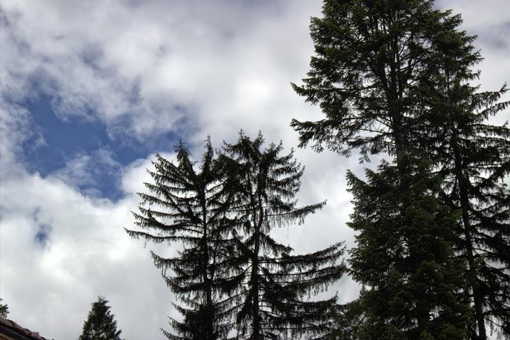 Старите дървета на манастира